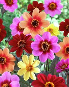 Dahlia Happy Singles Fusion x 3 Tubers Amazing Flowers, Fresh Flowers, Pretty Flowers, Colorful Flowers, White Flowers, Single Flowers, Daisy Flowers, Flowers Nature, Cosmos Flowers