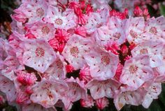 Mountain_Laurel  ---- would love to have one of these on the property. An homage to my native state of Connecticut (this is the state flower)