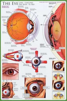 Anatomy of the Human Eye Optometry Educational Poster 24x36