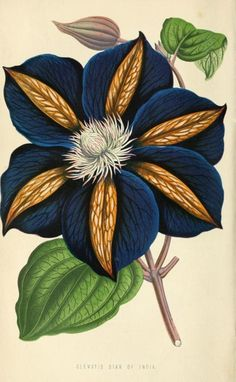 Clematis 'Star of India' (1871) The Floral World and Garden Guide, a gardening…