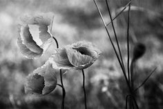 The true beauty of Poppies, no colour needed to capture the elegance here.
