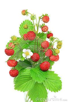 Pictures of Wild Strawberry Plants | Wild Strawberries Royalty Free Stock Photo - Image: 5404985