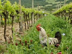 vineyards animal - Pesquisa Google