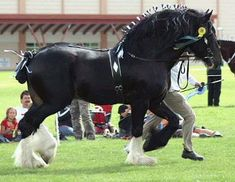 """Shire horses can be black, bay (sometimes called """"brown""""), or gray. In the United Kingdom the Shire must not be roan or chestnut. In the United States, roaning is considered """"undesirable"""" but. Big Horses, Work Horses, Majestic Horse, Beautiful Horses, Shire Horse, Welsh Pony, Friesian Horse, Clydesdale, Draft Horses"""