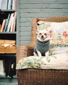 {Mary - Chihuahua} little dogs in sweaters make me smile.