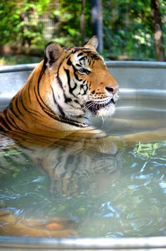 Suvarna was rescued from a private owner in Georgia. We can help prevent animals from living in back yards by supporting the Big Cat and Public Safety Act. Click here to learn more: http://crownridgetigers.com/big-cats-and-public-safety-protection-act