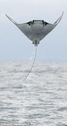 manta ray leaping out of water