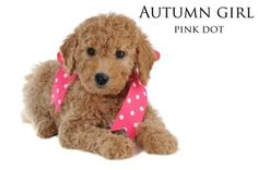 WOW! Ive been using this new weight loss product sponsored by Pinterest! It worked for me and I didnt even change my diet! I lost like 26 pounds,Check out the image to see the website, Goldendoodles are so cute and funny looking! This is my next dog down the road...
