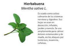 Pin by erendhel oraculo en vivo on plantas y arboles for Planta decorativa con propiedades medicinales crucigrama