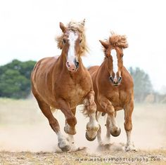 Beauties « Heart of a Horse -- Polish Draughts