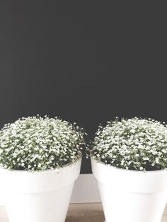 Stunning white pots with daisy's on grey wall