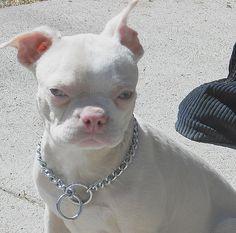 Albino Boston Terrier