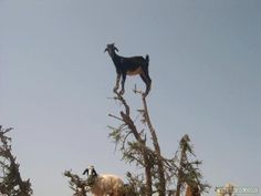 Kids can be like goats too - always wanting to stand on the highest thing possible...