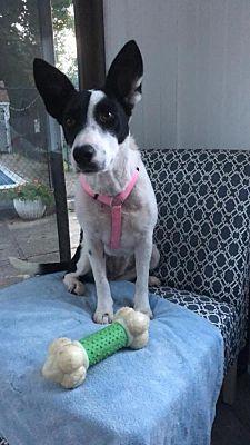 New York Ny Collie Meet Poppy A Dog For Adoption Pet