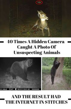 Unsuspecting animals can definitely be a little bit mischievous when they think no one's looking, but trail cameras reveal their hilarious actions. Funny Animal Memes, Funny Animal Pictures, Funny Animals, Cute Animals, Animals And Pets, Baby Animals, Most Famous Memes, Interesting Animals, My Animal