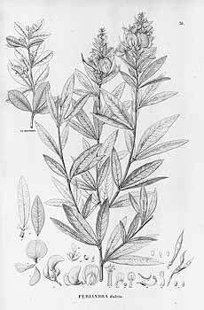 14051 Periandra mediterranea (Vell.) Taubert [as Periandra dulcis Benth.]…