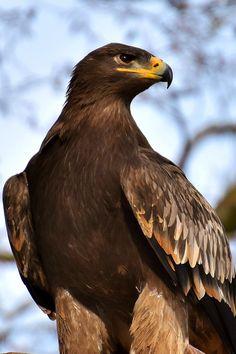 Birds Of Prey, Raptors, Eagles, Bald Eagle, Nature, Beautiful, Beauty, Shamanism, Tattoo Designs