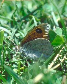 The Spanish brassy ringlet has large eyespots, which actually become one large spot with twin centres. Localised in the Pyrenees, where possible confusion arises with the Common brassy ringlet, Erebia cassioides.