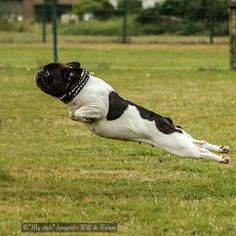 """Houston, we have lift off..."", French Bulldog in Flight✈️"