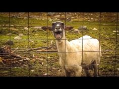 The Screaming Sheep that sounds like a human :D