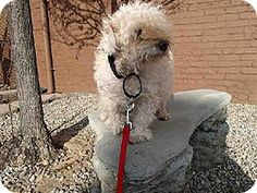 BAMBI (sweet senior looking for love & TLC) Pittsburgh, PA - Poodle (Miniature). Meet BAMBI, a dog for adoption. http://www.adoptapet.com/pet/12018388-pittsburgh-pennsylvania-poodle-miniature