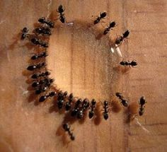 Learn how to get rid of sugar ants in a safe, nontoxic way. Getting rid of sugar ants requires patience and set up a system of repellents and home-made traps. Bug Control, Pest Control, Big Black Ants, Get Rid Of Lizards, Home Remedies For Ants, Homemade Ant Killer, Sugar Ants, Big Ant, Ants In House