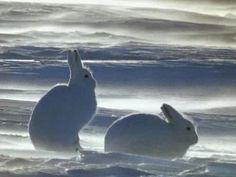 Ice rabbits