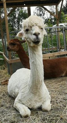 Just a little chitter chatter with guide Holly... Alpacas, Pretty Animals, Cute Baby Animals, Funny Animals, My Spirit Animal, My Animal, Funny Llama, Llama Alpaca, Cute Dogs
