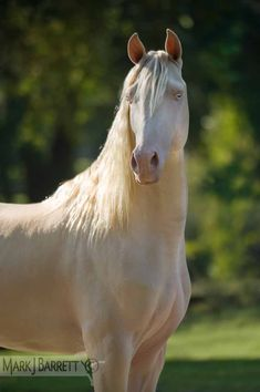 Cremallo Morgan Horse stallion ~ Horses Stock Photography and Equine Images by Mark J. Barrett*
