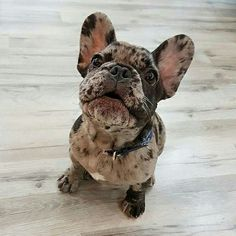 """Good morning human"", a beautiful Merle French Bulldog Puppy ❤"