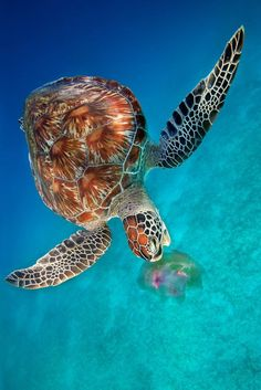Green Turtle eating Jellyfish - Dimakya   Island, Philippines