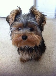 This is the exact kind of dog I have wanted for years!!!!!!!!!!!! #yorkshireterrier