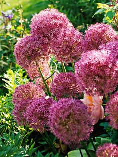 'Globemaster' allium Allium 'Globemaster' is a dramatic selection with 10-inch violet flower heads on 3-foot-tall stems in late spring to early summer. Zones 4-9