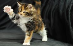 Maine_coon-8