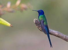 Jarbas Mattos- Swallow-tailed Hummingbird São Luis do Paraitinga SP Brasil