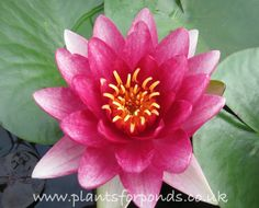 Conqueror - Water Lily (Nymphaea Conqueror) Producing many large deep red flowers, this lily is very popular. Its petals curve inwards slightly and its foliage is dark green with bronze underneath. Summer Flowers, Red Flowers, Red Water, Pond Plants, Types Of Plants, Water Lilies, Bloom, Lily, Spring