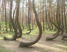 These trees grow in the forest near Gryfino, Poland. The cause of the curvature is unknown: