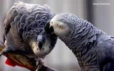 Animals - A Pair of Talking African Grey Parrots. We have Pairs of well tamed, talking and healthy African grey parrots. Timneh African Grey, African Grey Parrot, Senegal Parrot, Baby Animals, Cute Animals, Bird Pictures, Cockatoo, Funny Animal Videos, Wild Birds