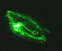 Radiant SalpsCredit: Kelly Sutherland and Larry Madin   WHOI The salp is a 5-inch (13-centimeter)-long , barrel-shaped organism that resembles a streamlined jellyfish. It lives in mid-ocean waters where it filters the seawater for food particles. Some species of salps are bioluminescent and exude flashes of light. Salps swim and eat in rhythmic pulses, each of which draws seawater in through an opening at the front end of the organism. A nanometer-scale mucus net captures the food particles…