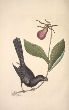 """Antique bird and plant illustration by Mark Catesby, 1683-1749. The Razor-billed Black-bird of Jamaica from """"The natural history of Carolina, Florida and the Bahama Islands: containing the figures of birds, beasts, fishes, serpents, insects, and plants""""."""