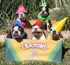 """Pick a color!"" #dogs #pets #BostonTerriers Facebook.com/sodoggonefunny"