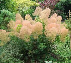 Plant List - Young Lady Smokebush Cotinus coggygria 'Young Lady' -- Lots of blooms even when its a young plant. Almost every shoot forms soft, frothy-pink 'puffs of smoke' that repeat from late spring until frost. Green foliage turns to a blend of yellow, orange and red in the fall.