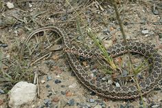 Rhombic Skaapsteker (Psammophylax rhombeatus) Beautiful Snakes, Lizards, Ropes