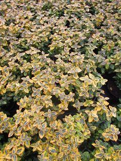 Japanse kardinaalshoed Euonymus fortunei 'Emerald Gold' - Kwekersvergelijk Emerald, Gardening, Plants, Gold, Lawn And Garden, Plant, Emeralds, Planets, Horticulture