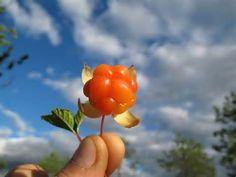 Panoramio - Photo of Arctic Cloudberry