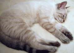 Cream and White Color Point Tabby Siamese Cat Siamese Kittens, Cats And Kittens, Tabby Cats, Bengal Cats, White Kittens, Sphynx Cat, Pretty Cats, Beautiful Cats, White Bengal Cat