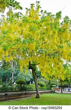 Cassia fistula Tree or Cassia for generic term..  I love this gorgeous yellow flowering tree!