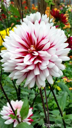 Dahlia @ Garden by the bay, Singapore.