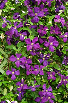 POLISH SPIRIT CLEMATIS Vigorous perennial vines can turn a bare arbor, fence, or stacked stone wall into a garden focal point in no time—just be sure to choose wisely Climbing Flowers, Climbing Vines, Evergreen Vines, Deer Resistant Plants, Garden Bulbs, Rare Flowers, Purple Flowers, Flowering Vines, Container Flowers
