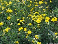 Yellow birds foot trefoil - edible plants for Leopard Tortoise (all)